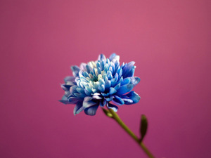 Обои Синяя хризантема