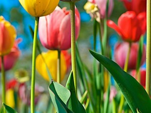 Обои Разноцветные тюльпаны