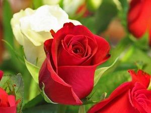 Обои Красные и белые розы