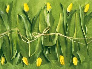 Обои Желтые тюльпаны
