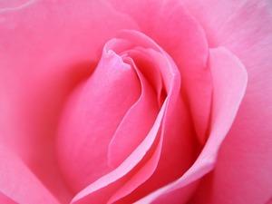 Обои Нежно-розовая роза