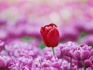 Обои Голландские тюльпаны