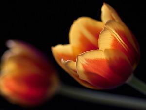 Обои Два тюльпана
