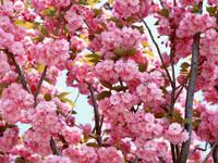 Обои для рабочего стола: Розовая сакура
