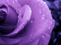 Обои для рабочего стола: Фиолетовая роза
