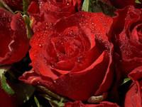 Обои для рабочего стола: Красные розы