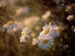 Обои Ромашки под дождем