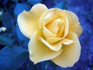 Обои Желтая роза