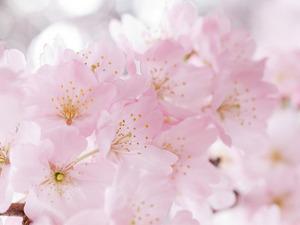 Обои Цветы вишни