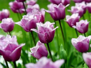 Обои Бахромчатые тюльпаны