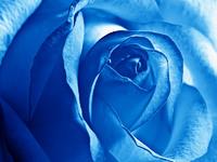 Обои для рабочего стола: Синяя роза