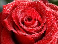 Обои для рабочего стола: Красная роза в капельках воды