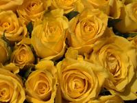 Обои для рабочего стола: Жёлтые розы