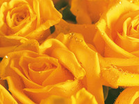 Обои для рабочего стола: Желтые розы