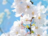 Обои для рабочего стола: Цветок вишни