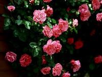 Обои для рабочего стола: Кустарная роза