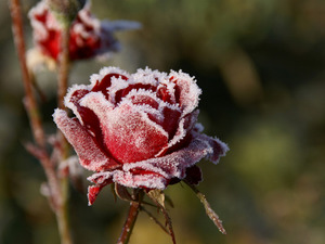 Обои Замерзшая роза