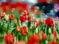Обои для рабочего стола: Тюльпановое поле
