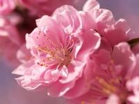 Обои для рабочего стола: Нежно-розовая сакура