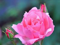 Обои для рабочего стола: Роза