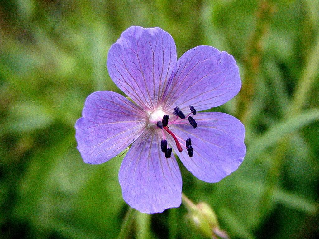 Wild geranium flower