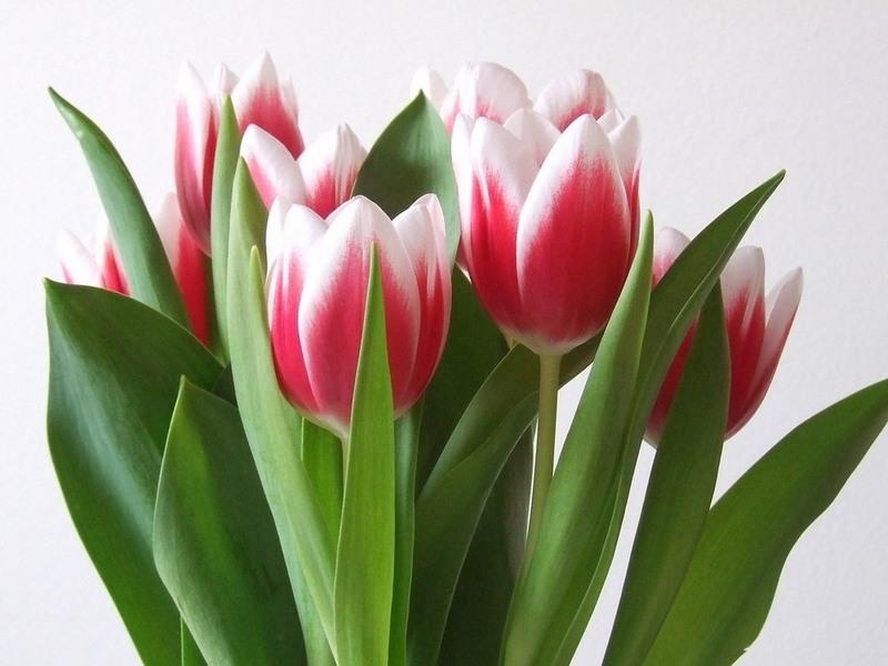 Красно-белые тюльпаны
