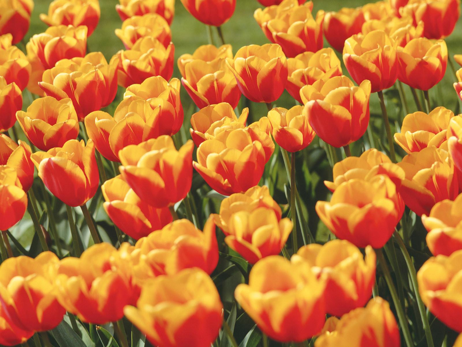 красно желтые тюльпаны фото