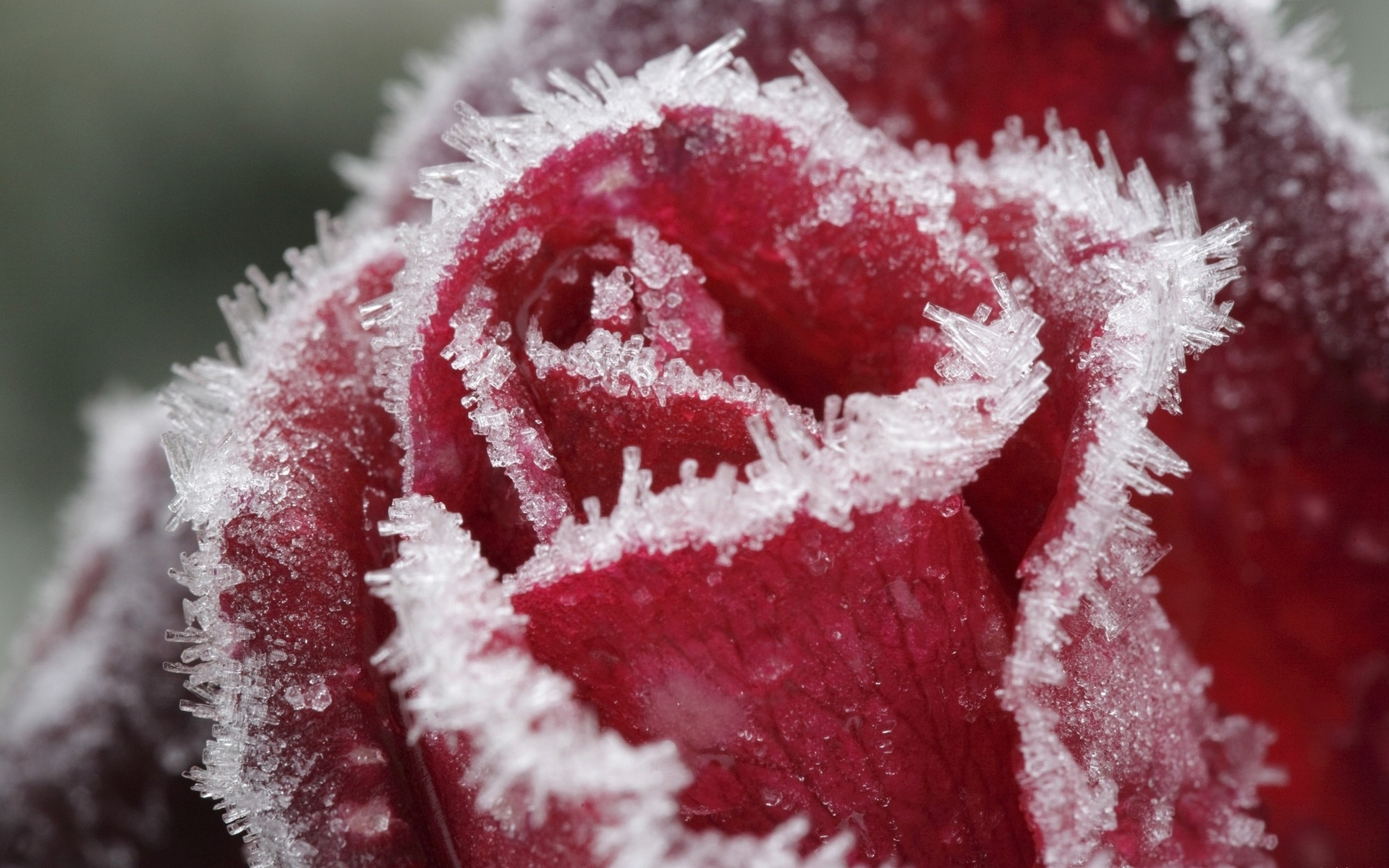 Ледяная роза