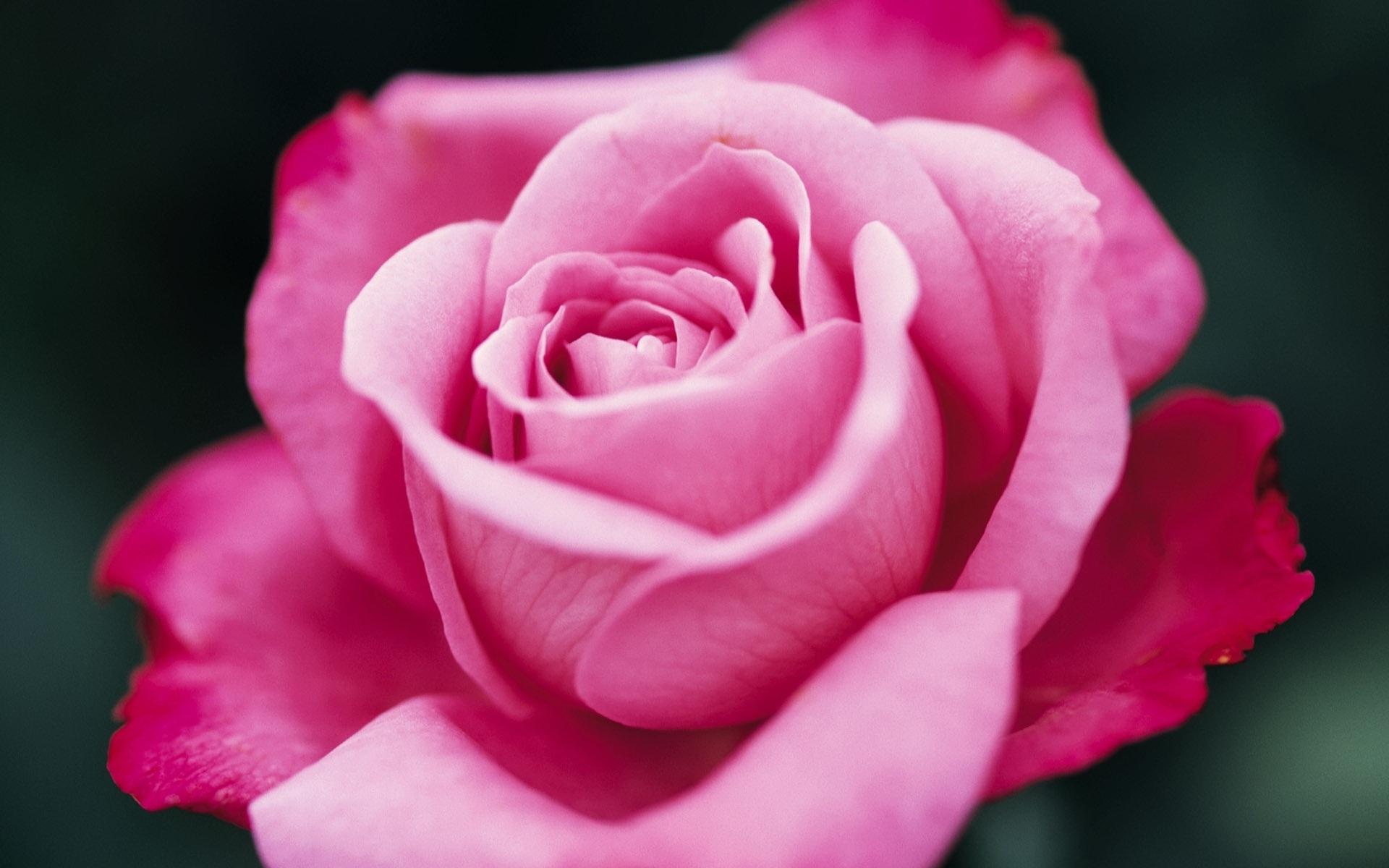 приобретаете самые красивые розы мира фото розовые себя