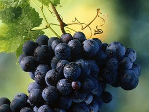 Обои Гроздь винограда