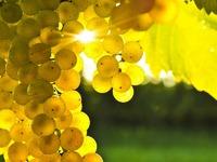 Обои для рабочего стола: Виноград