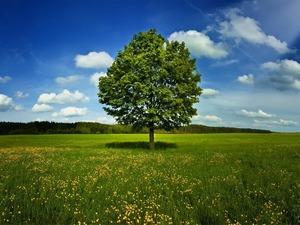 Обои Молодой дуб на цветущем лугу
