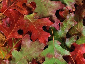 Обои Листья дуба