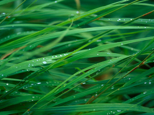 Обои Трава в росе