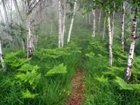 Обои для рабочего стола: В туманом лесу