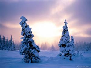 Обои Зимний день. Ёлки в снегу