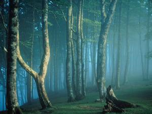 Обои Туманный лес
