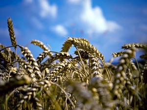 Обои Пшеница