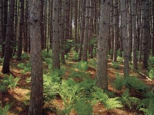 Обои Сосновый лес