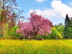 Обои Сакура в цвету