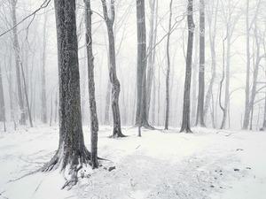 Обои Снежный лес