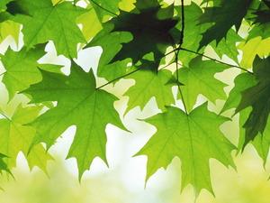 Обои Листья клёна