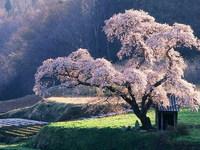 Обои для рабочего стола: Цветущая сакура
