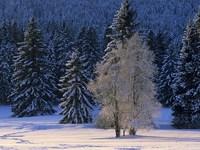 Обои для рабочего стола: Снежный лес