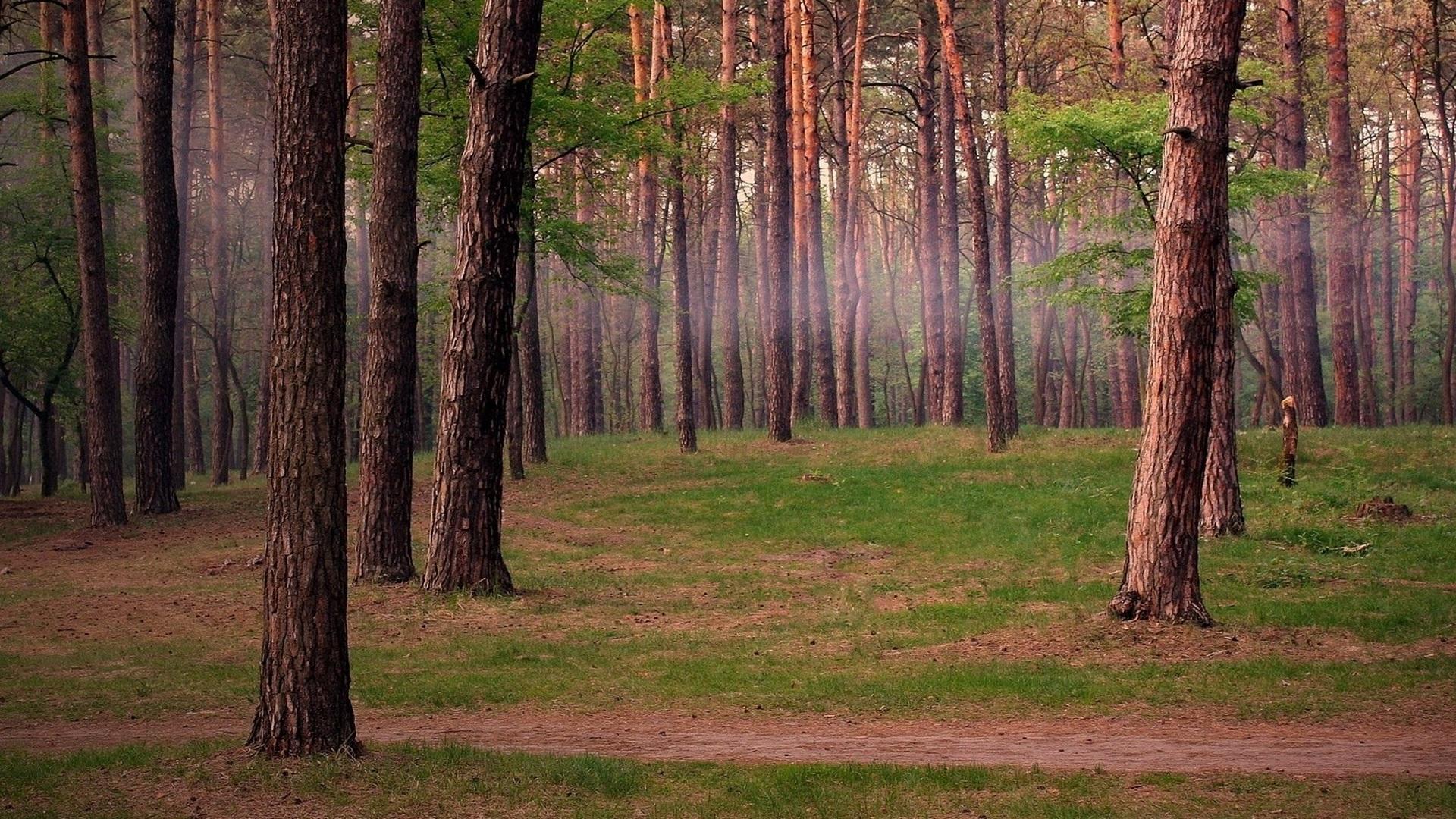 Картинки сосновый лес в хорошем качестве