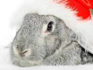 Обои Новогодний кролик
