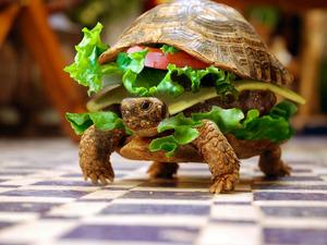 Обои Черепаха