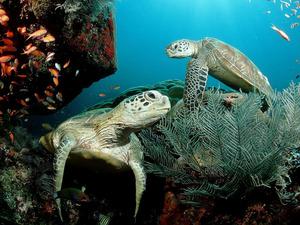 Обои Черепахи