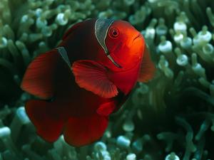 Обои Красная рыба-клоун