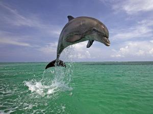 Обои Дельфин